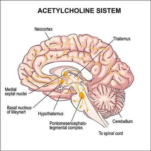 Acetylochline System